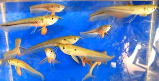 Ikan anakan arwana