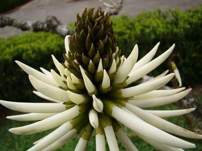 flor-da-eritrina-candelabro-de-cor-branca