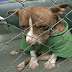 'Code Red' Shelter Pet Dog Still Uses Christmas Coat & Has No Place To Call Residence