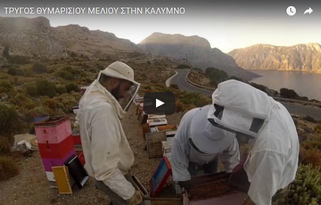 Πανέμορφο βίντεο: Τρύγος και εξαγωγή θυμαρίσιου μελιού στην Κάλυμνο
