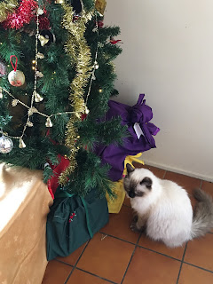 Princess, rag doll kitten, looking at Christmas tree.