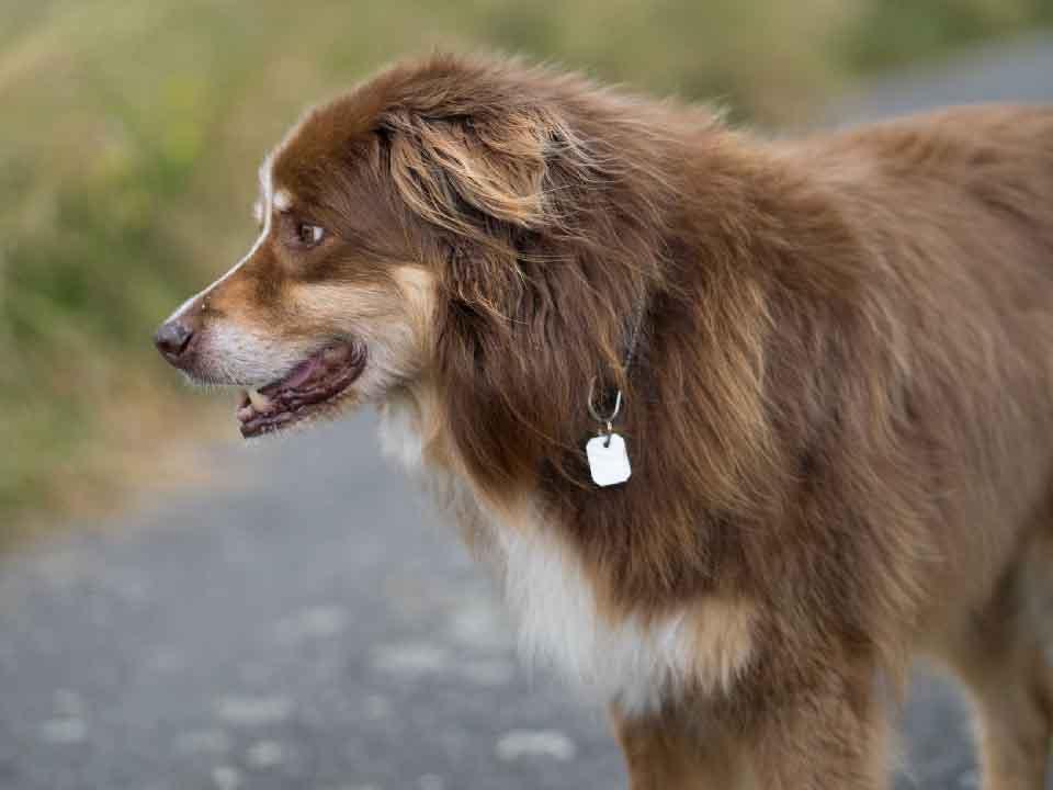 Les éléments déclencheurs qui peuvent amener le Berger Australien à être un chien agressif.