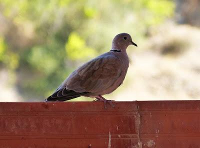 Suami Lebih Peduli Burung Perkutut Daripada Istrinya