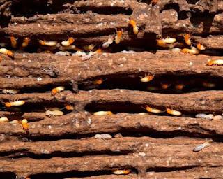 rayap kayu