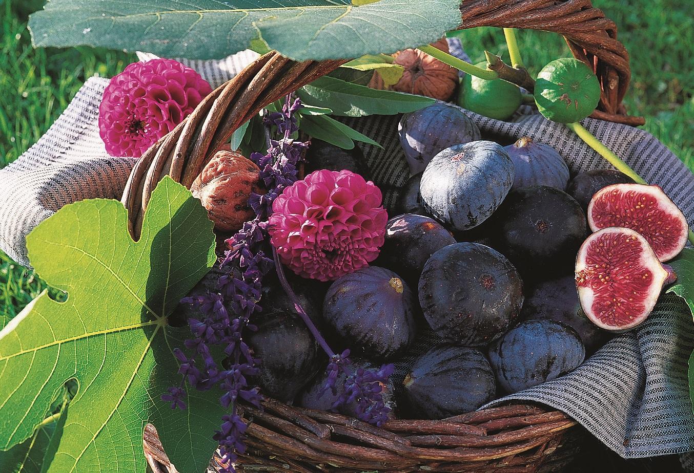 Le figuier comment le planter et le tailler les carnets de georges delbard - Quand cueillir les figues ...