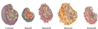 Bentuk-bentuk sel darah putih