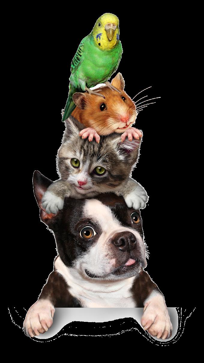 Cat Pet sitting Hamster Dog Kitten, animal, food, animals, carnivoran png free png
