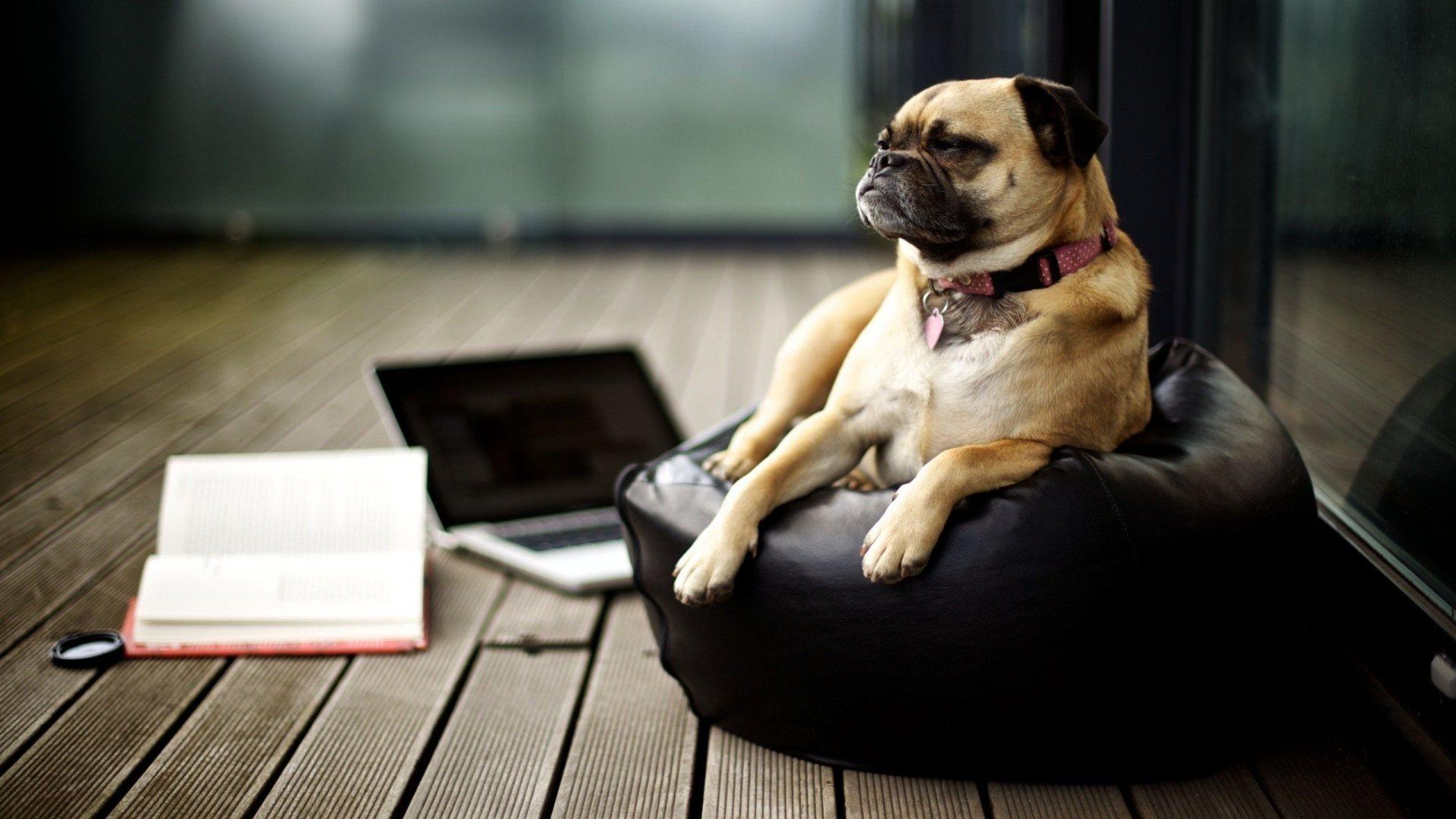 Business Dog Full Hd Desktop Wallpapers 1080p