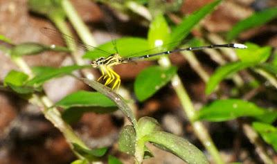 Copera marginipes