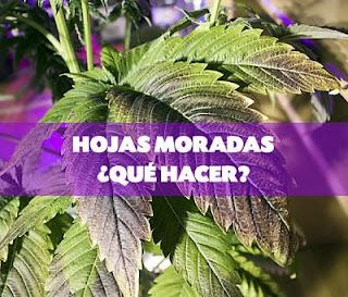 Hojas moradas cultivo de marihuana