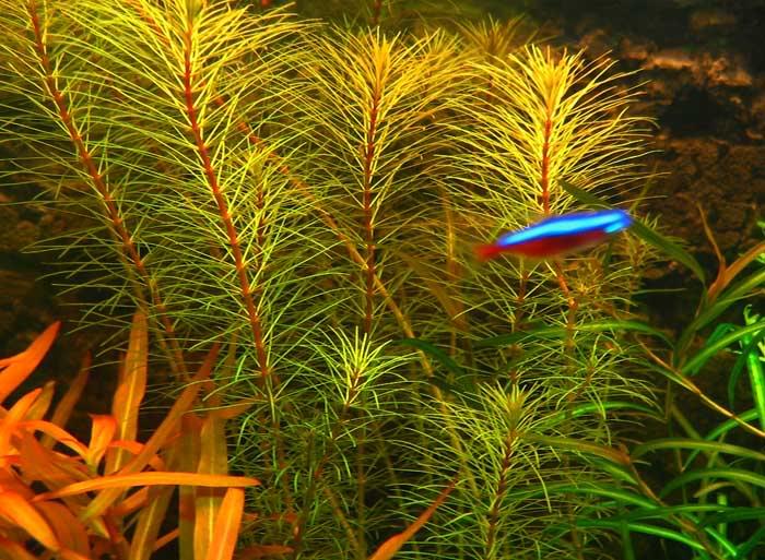 Cây chỉ đỏ trong hồ thủy sinh