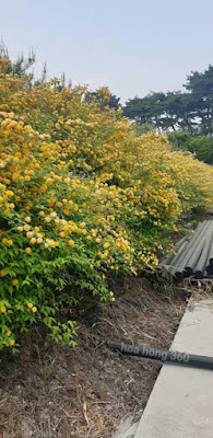 hoa hồng tầm xuân vàng mọc nhiều ở nhật bản ,hàn quốc , trều tiên , trung quốc