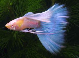 أسماك الطاووس الصينية الرائعة الجمال سبحــــــان الله image0011-720059.jpg