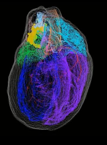 MAPA EM 3D DE NEURÔNIOS DO CORAÇÃO EXPLICA A COMPLEXIDADE DO ORGÃO