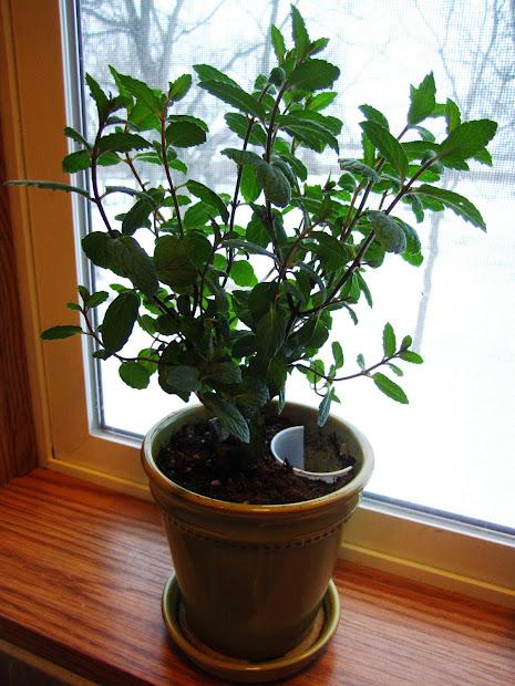 Mint Plants Growing Indoors