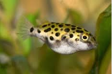 Ikan Buntal Air Tawar (Spotted Green Puffer)