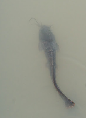 African Sharptooth Catfish (Clarias gariepinus