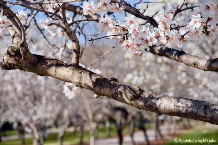 レティーロ公園内の桜に似たアーモンドのピンクの花