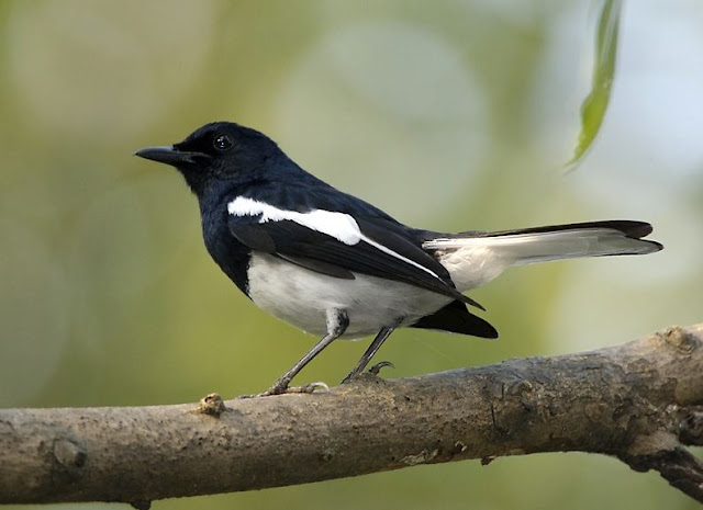 common birds of bangladesh