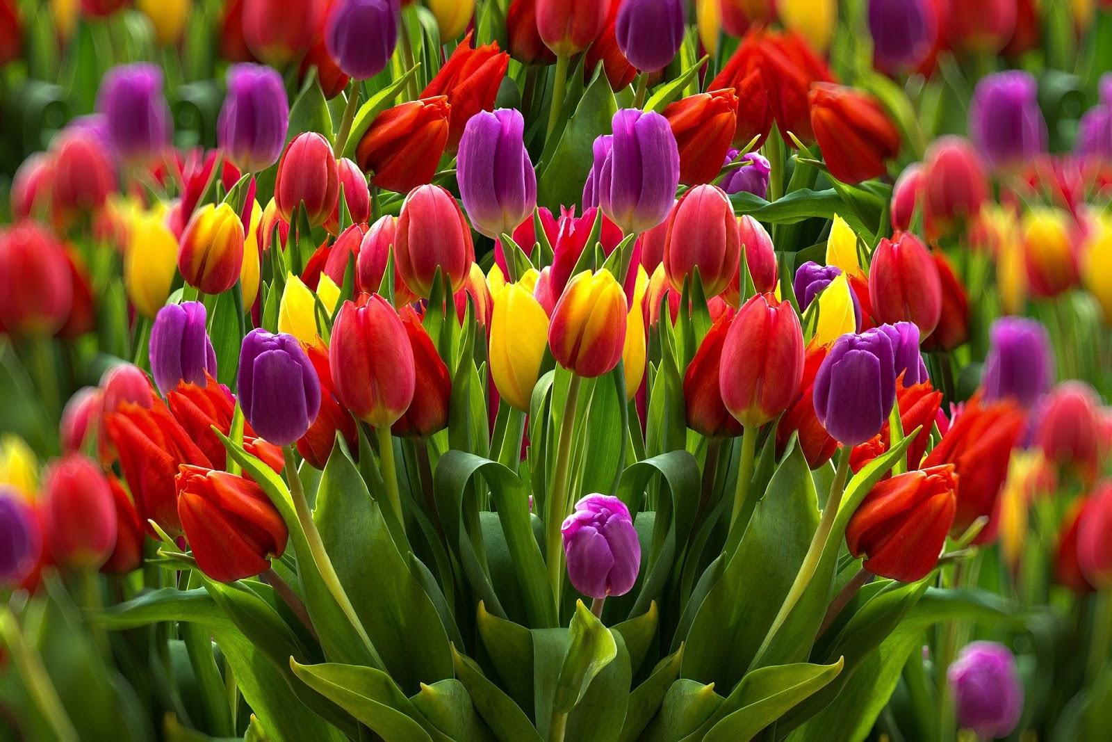 gambar bunga tulip