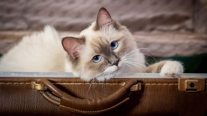 Cute White Cat Inside Bag Showing Head Outside 4k Hd Wallpaper