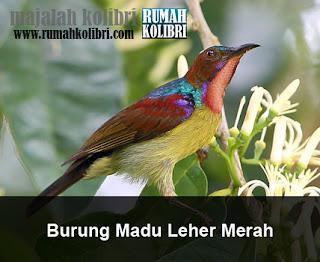 kolibri kelapa merah