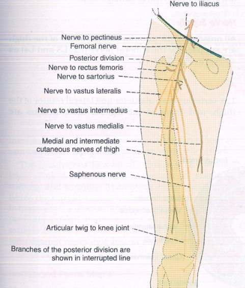 world science articles: femoral nerve dysfunction, Muscles