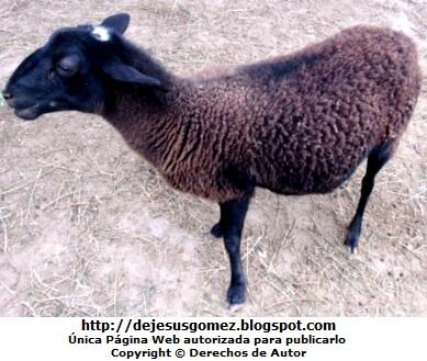 Foto de oveja negra por Jesus Gómez