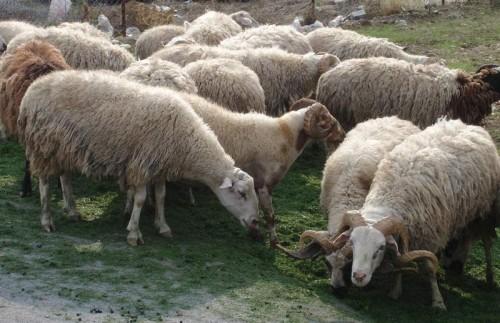 Εξιχνιάστηκαν ακόμη δύο περιπτώσεις ζωοκλοπών στο Άργος
