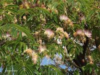 Persian silk tree blooms, Rotorua - North Island, New Zealand