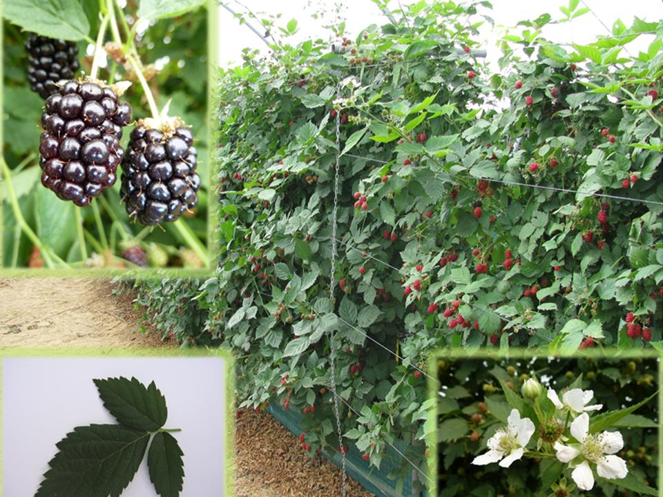 La zarzamora un gran desconocido de la producci n for Produccion de plantas ornamentales pdf