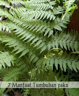 Manfaat Tumbuhan Paku Bagi Manusia : manfaat, tumbuhan, manusia, Manfaat, Tumbuhan, Untuk, Kesehatan, Khasiat, Loker