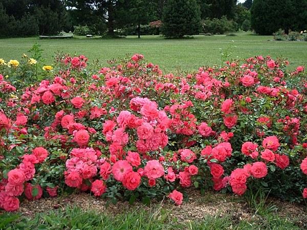 Bad Birnbach сорт розы фото описание отзывы купить саженцы Минск
