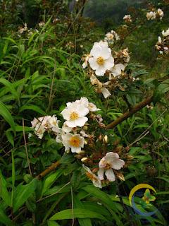 กุหลาบเวียงเหนือ Rosa helenae ประโยชน์, การปลูก