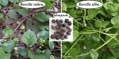 malabar spinach rubra_alba