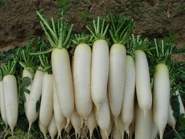 Cách trồng củ cải và kỹ thuật trồng củ cải