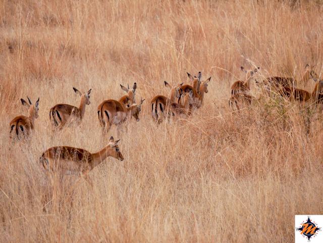 Pilanesberg National Park, impala