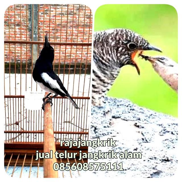 Daftar 9 Jenis Burung yang Dilindungi Undang-Undang Di Indonesia-Rajajangkrik