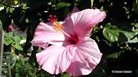 Light pink hibiscus, Diamond Head Community Garden - Waikiki, HI