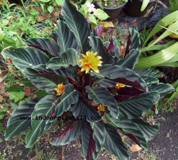 Ctenanthe Oppenheimiana Tricolor Marantaceae PLANT PICTURE