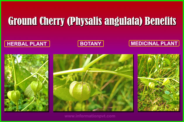 Ground Cherry (Physalis angulata) Benefits
