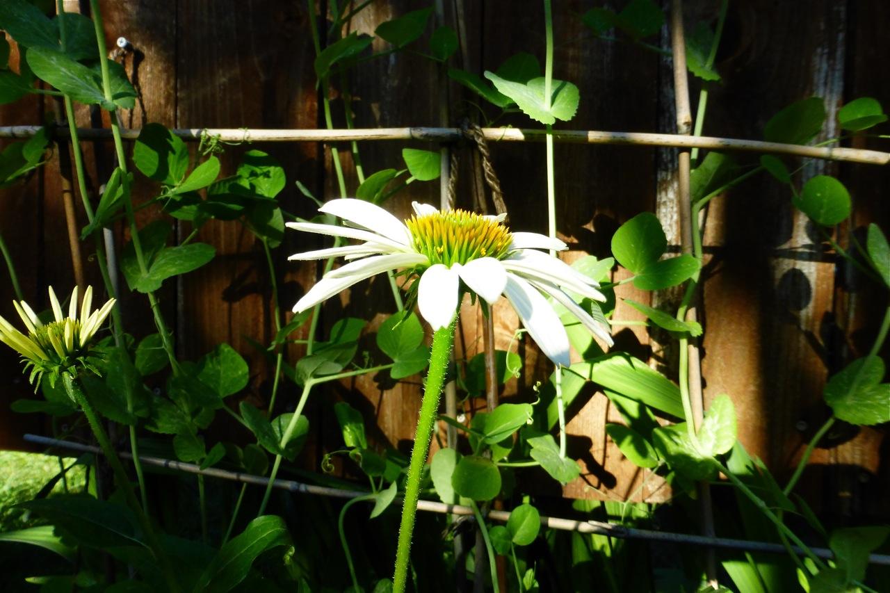 echinacea, white echinacea, coneflower, white coneflower