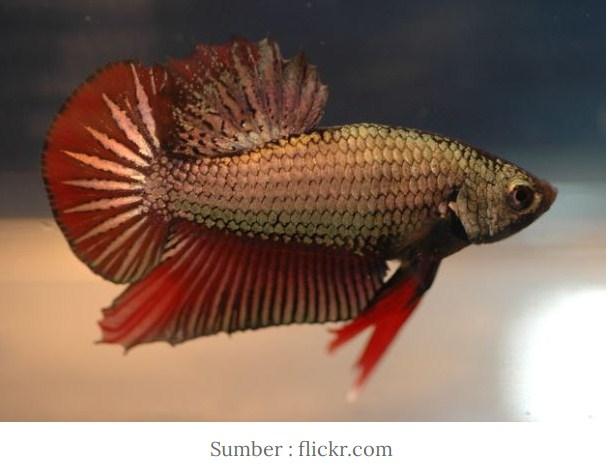 Mengenal Jenis Ikan Cupang HMPK