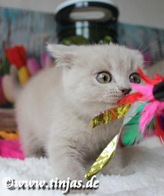 spielendes BKH Kitten 2017 05 10 4
