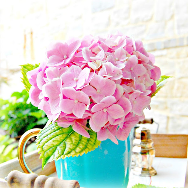 Growing French Hydrangeas For The Home and Garden Gardening Series 2