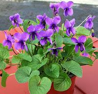 Bir saksıda kokulu menekşe çiçekleri ve yaprakları