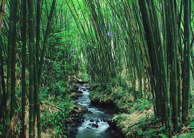 hutan bambu sumatera utara