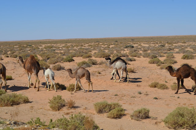 camelos selvagem