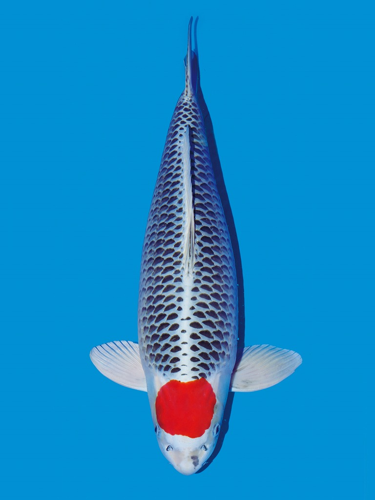 ikan koi tancho jenis asagi