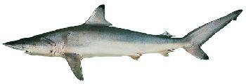 Tubarão Gália Preta